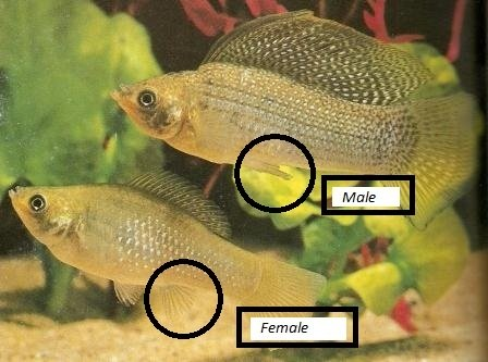 An in depth look at molly fish my aquarium club for How long do fish stay pregnant