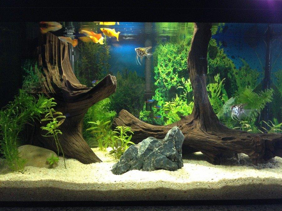 20 gallon freshwater tank update sept 2013 my aquarium club for Freshwater fish for 20 gallon tank
