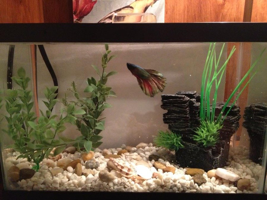 Water changes in a small betta tank with no filter my for Water temperature for betta fish tank