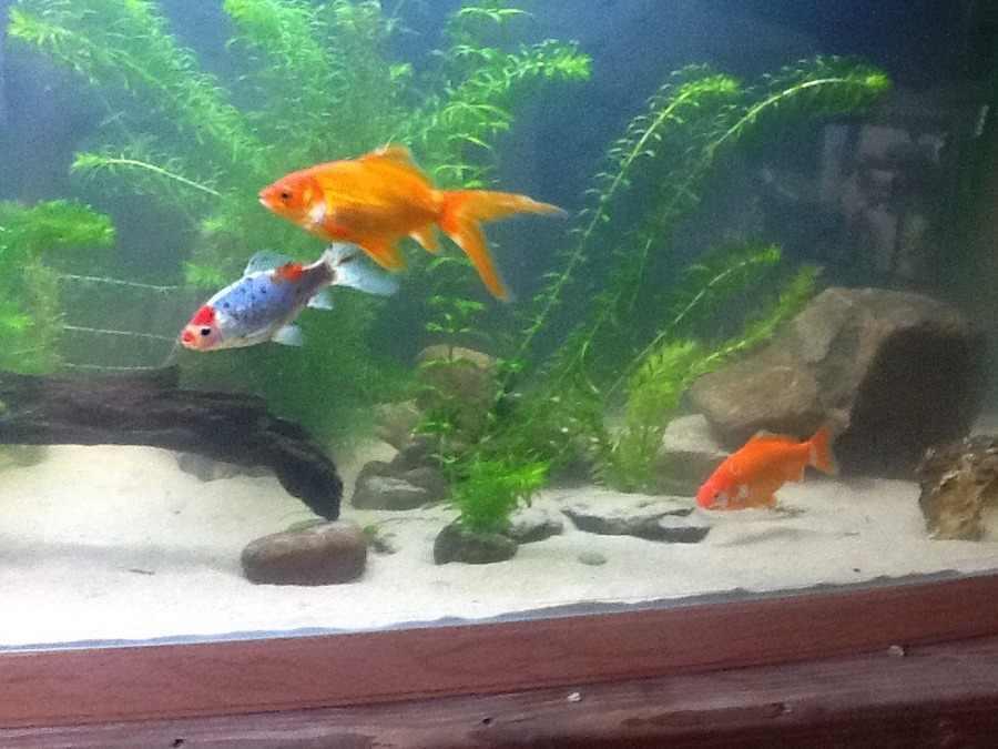 The complete goldfish care guide my aquarium club for Small koi fish care