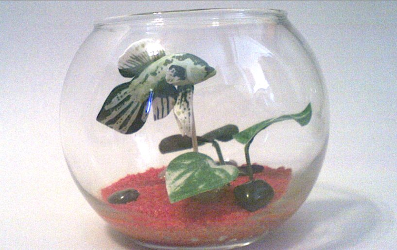 The only bettas in bowls i approve of my aquarium club for Betta fish personality