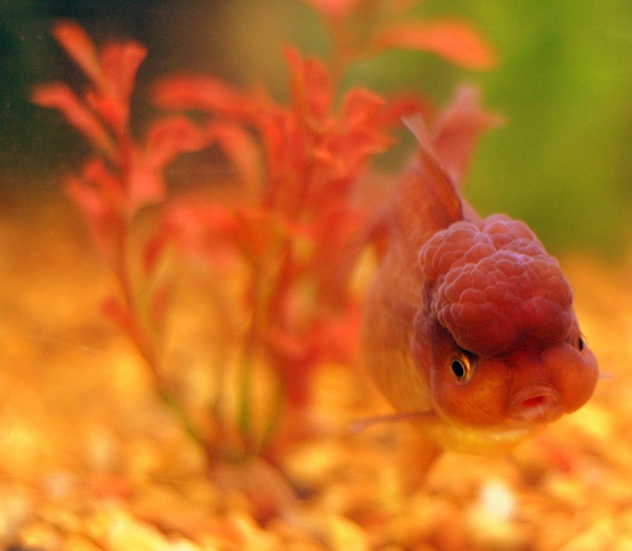 Types Of Goldfish - The Goldie Identification Guide | My ...