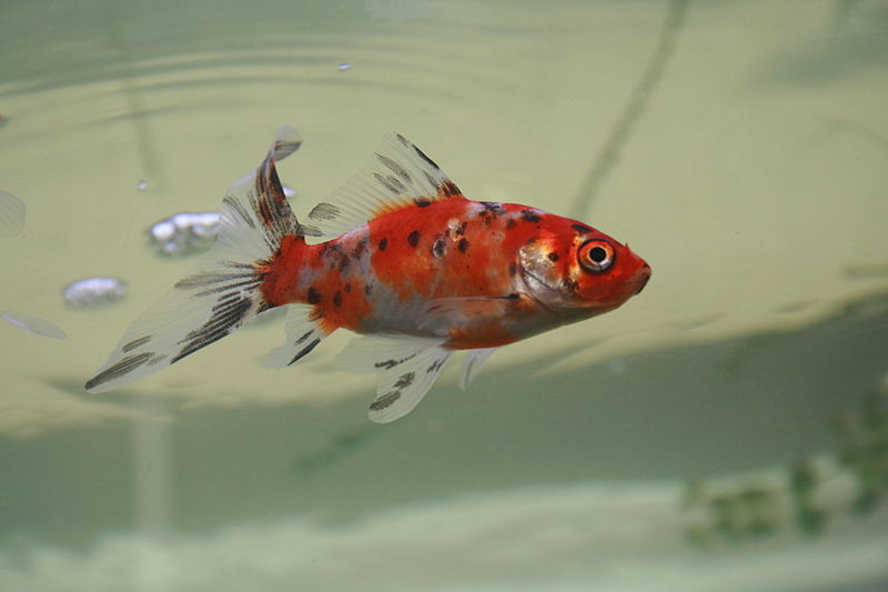 Types of goldfish the goldie identification guide my for Shubunkin fische