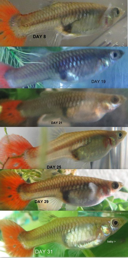 Guppy pregnancy photo progression when is my guppy due for Fish delivery near me