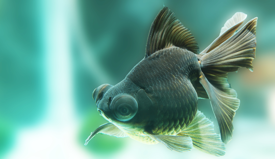 Baby Black Moor Goldfish Types Of Goldfish - Th...