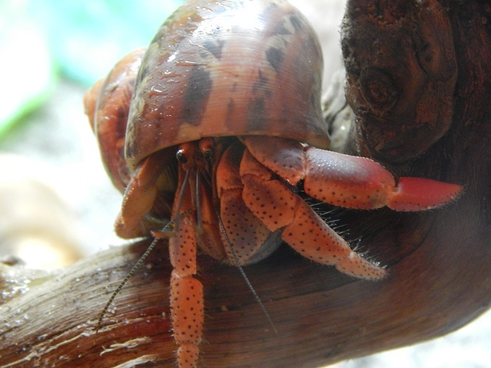 how to keep hermit crabs