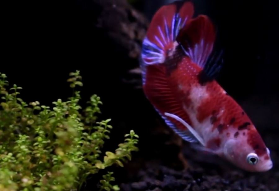 My new male koi betta imported from thailand my for Male koi fish