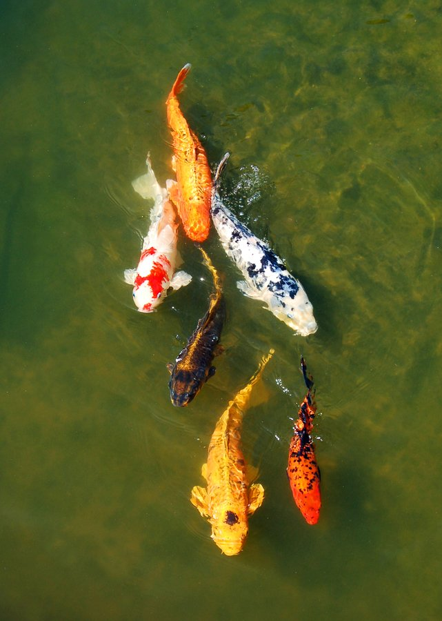 The Legend Of Hanako The Koi Fish That Outlived The Last
