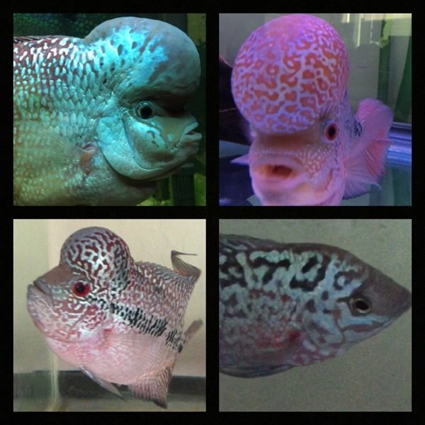 Flowerhorn, Part 3 Of 3 | My Aquarium Club