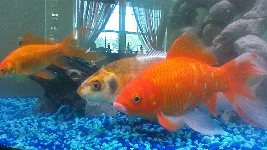 do goldfish really only grow to the size of their tank