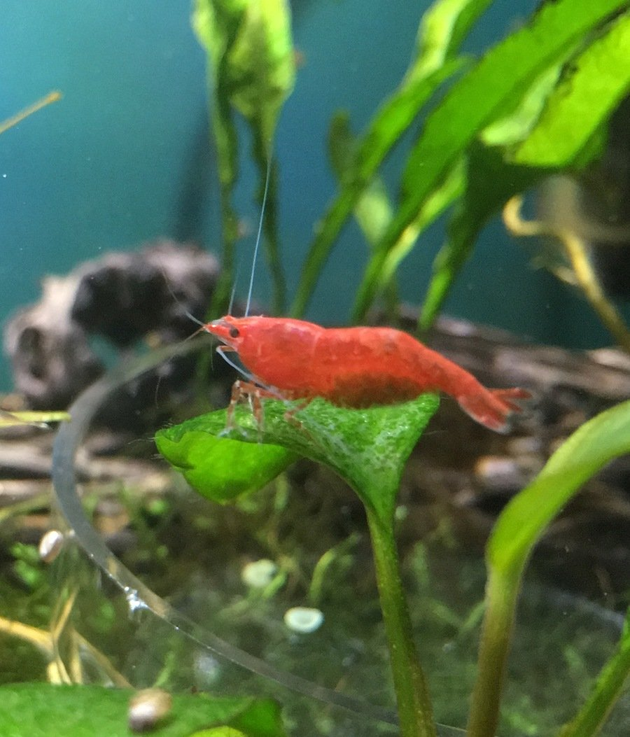 Cherry Shrimp Male Or Female New Blog Ud Ang Hias Red Cery First Berried Cher