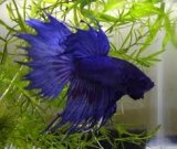 Peace Love Bettas avatar