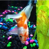 Septicemia in goldfish please help me medigold and for Septicemia in fish