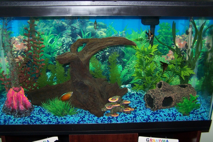 Can i have 2 angel fish in a 10 gallon tank and if so for for Fish for a 10 gallon tank