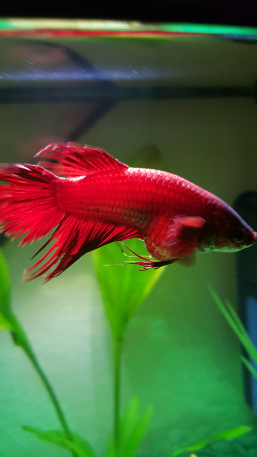 Help Female Betta With Hudge Stomach My Aquarium Club