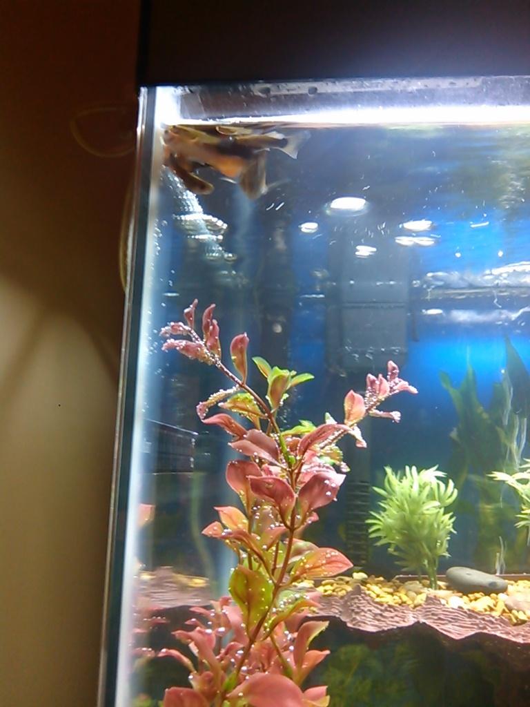 Fish Gathering In Top Corner Of My Tank My Aquarium Club