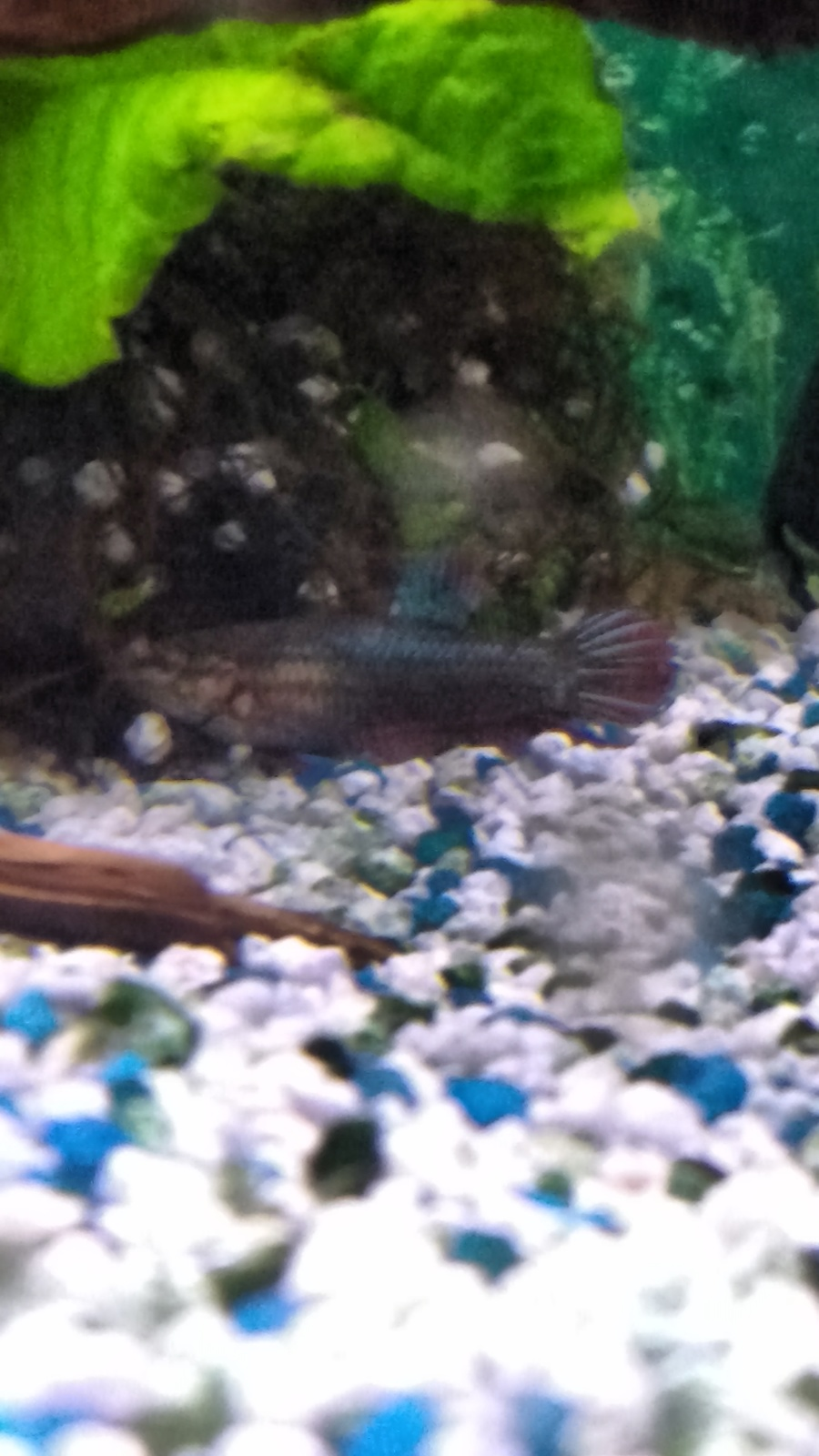 Freshwater fish keep dying - It S Not Moving Very Much Hiding Too It S Female And One Died Recently