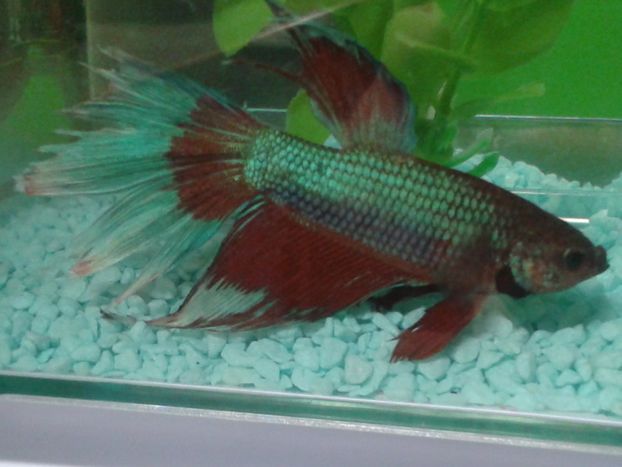 Beta Fish Has Fin Rot And Won 39 T Eat What Do I Do My