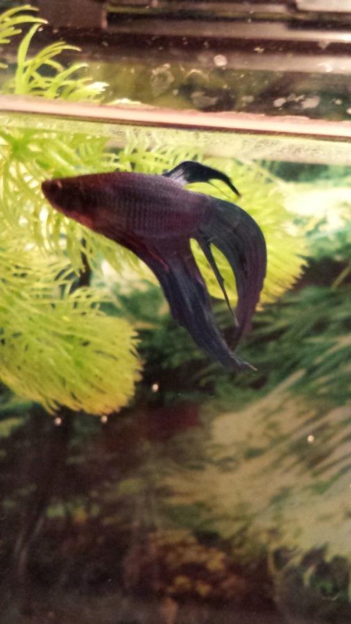 Betta sick color change clumped fins my aquarium club for Betta fish water change