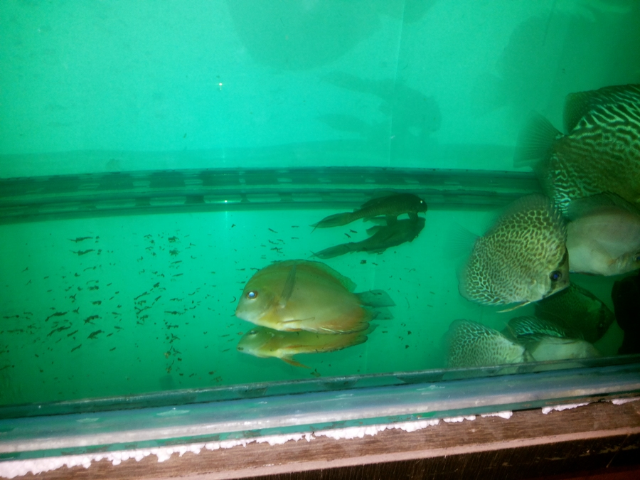 Discus fish is not eating and getting dull and sleepy my for Fish not eating