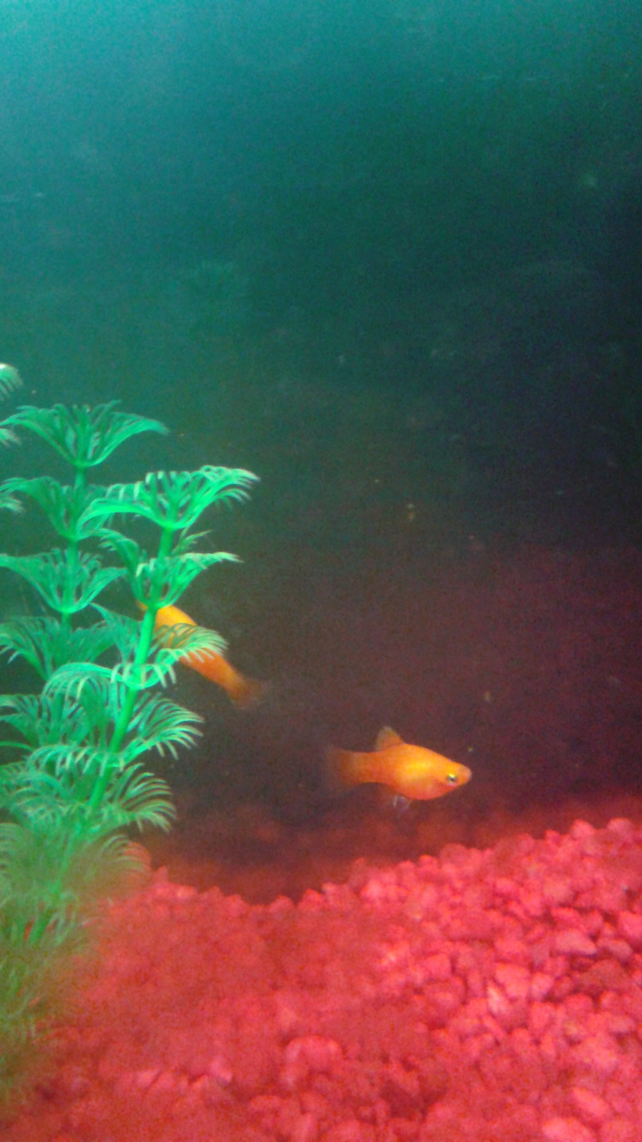 Freshwater fish growth rates - I Have Some Balloon Mollies I Had Them For About 4 6 Months But They Still Look Small Are They The Right Size