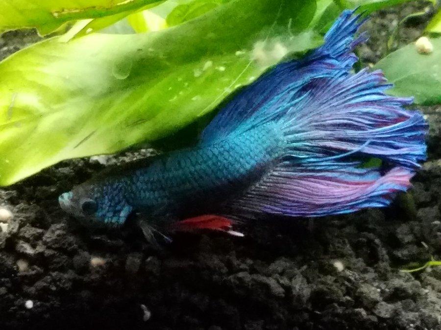 Male betta is afraid of tankmates my aquarium club for Tank mates for betta fish