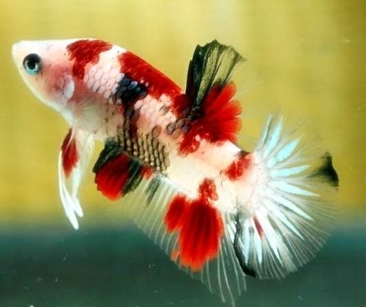 Koi betta my aquarium club for Expensive koi fish for sale