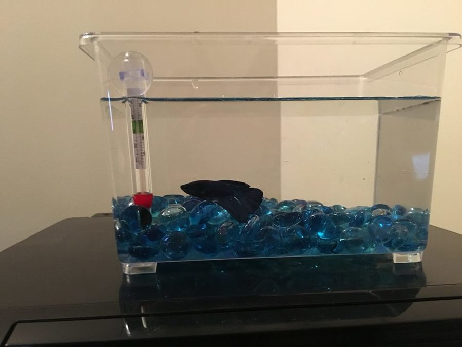 Beta fish recovering from temperature shock won 39 t eat for Betta fish temp
