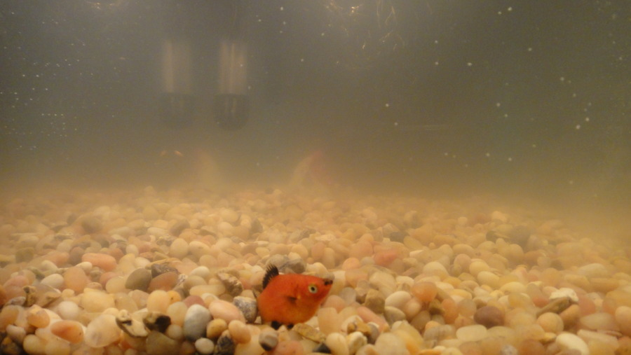 Cloudy water white fluffy dots on gravel and glass for My fish tank water is cloudy