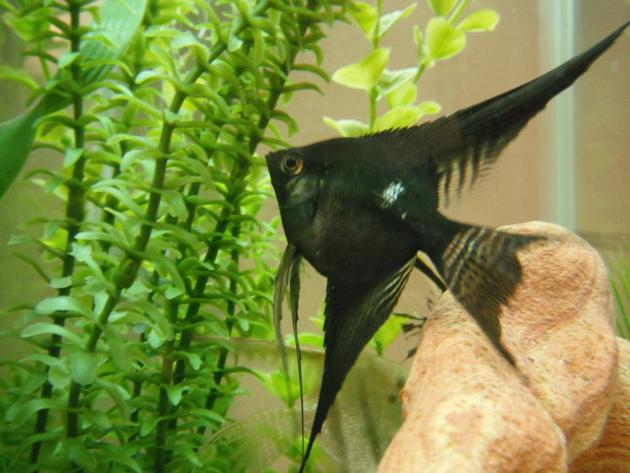 Angelfish has white spots on body not ick but something for Fish disease ick