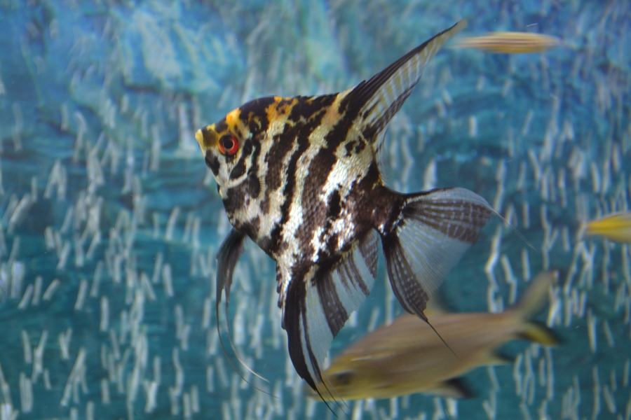 Fish compatible with angel fish and other tips my aquarium club for Fish compatible with angelfish
