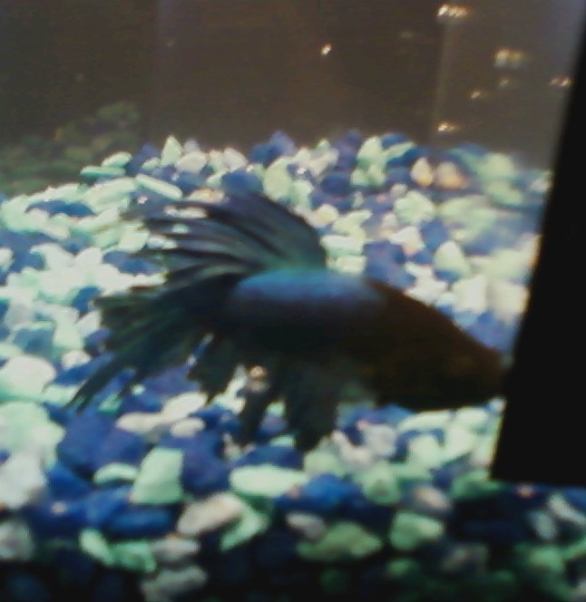 Tank mates for bettas how many should i get and what for 10 fish in a tank riddle