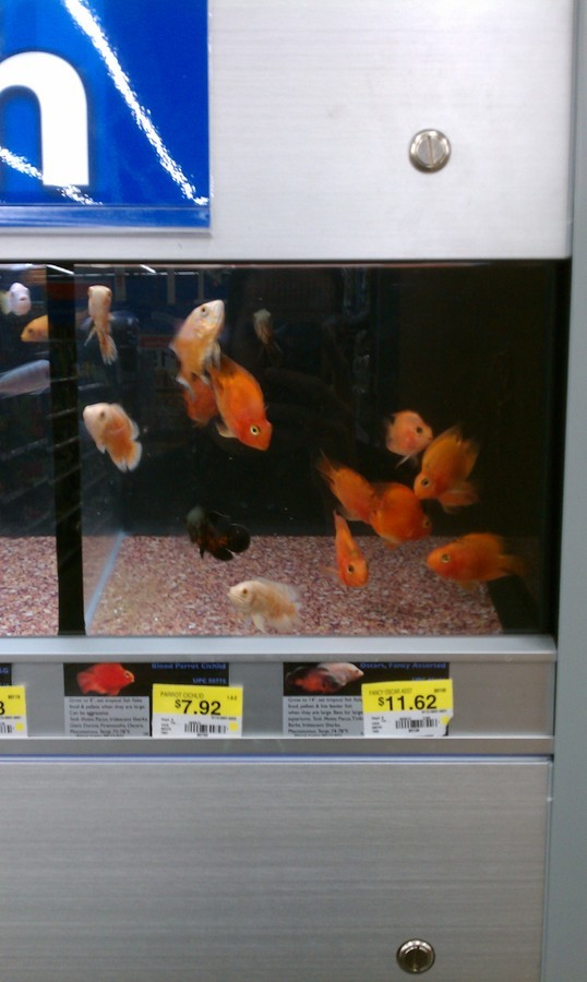 Walmart a scary place for fish my aquarium club for Fish at walmart