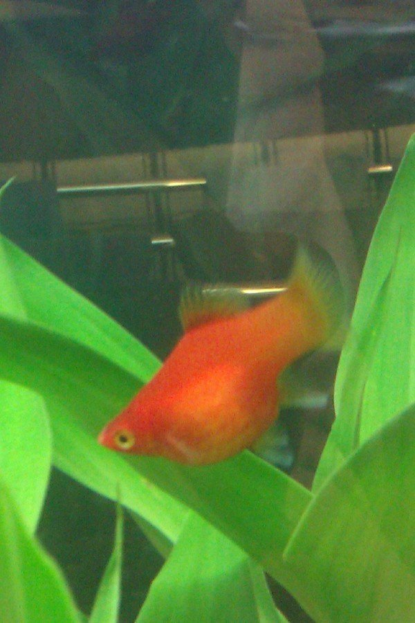 Pregnant platy help asap my aquarium club for Pregnancy and fish