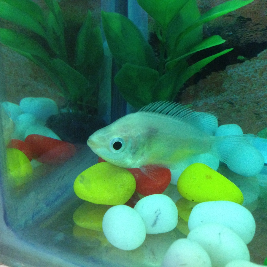 Fish aquarium red spots - My Kissing Gourami Has A Red Spot From Inside Since Morning He Is Seating At Bottom Of The Tank And Also Not Eating Much Please Suggest Me Some Medication