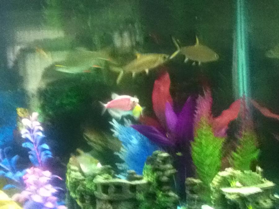 Bala shark freshwater aquarium my aquarium club for Baby sharks for fish tanks