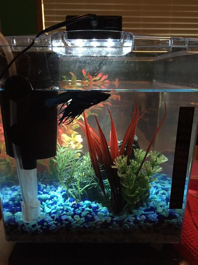 Betta seems depressed and only floats on top of tank my for Betta fish floating