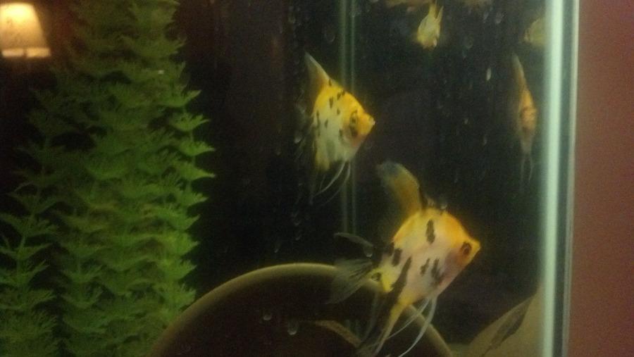 calico angelfish not getting along my aquarium club