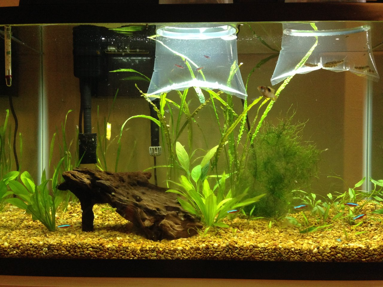 30 gallon community tank my aquarium club for 10 gallon fish tank stocking ideas