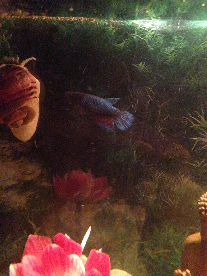 Why does my fish betta fish stay at the top of his fish for Betta fish swim bladder