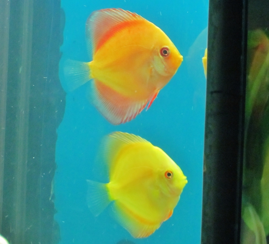 Discus color enhancing food vitamins my aquarium club for Discus fish food