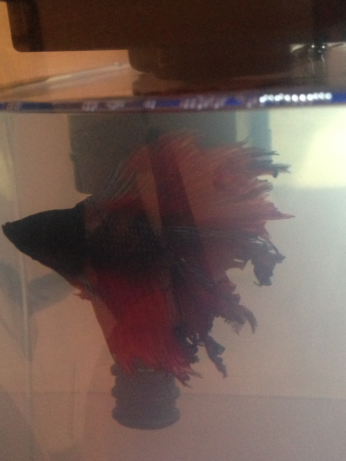 Betta fish tank with filter cloudy after water change my for Why is my fish tank water cloudy