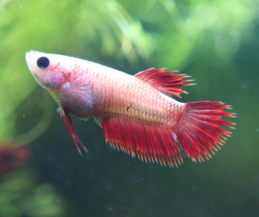 The genetics of betta fish tail types my aquarium club for Baby betta fish