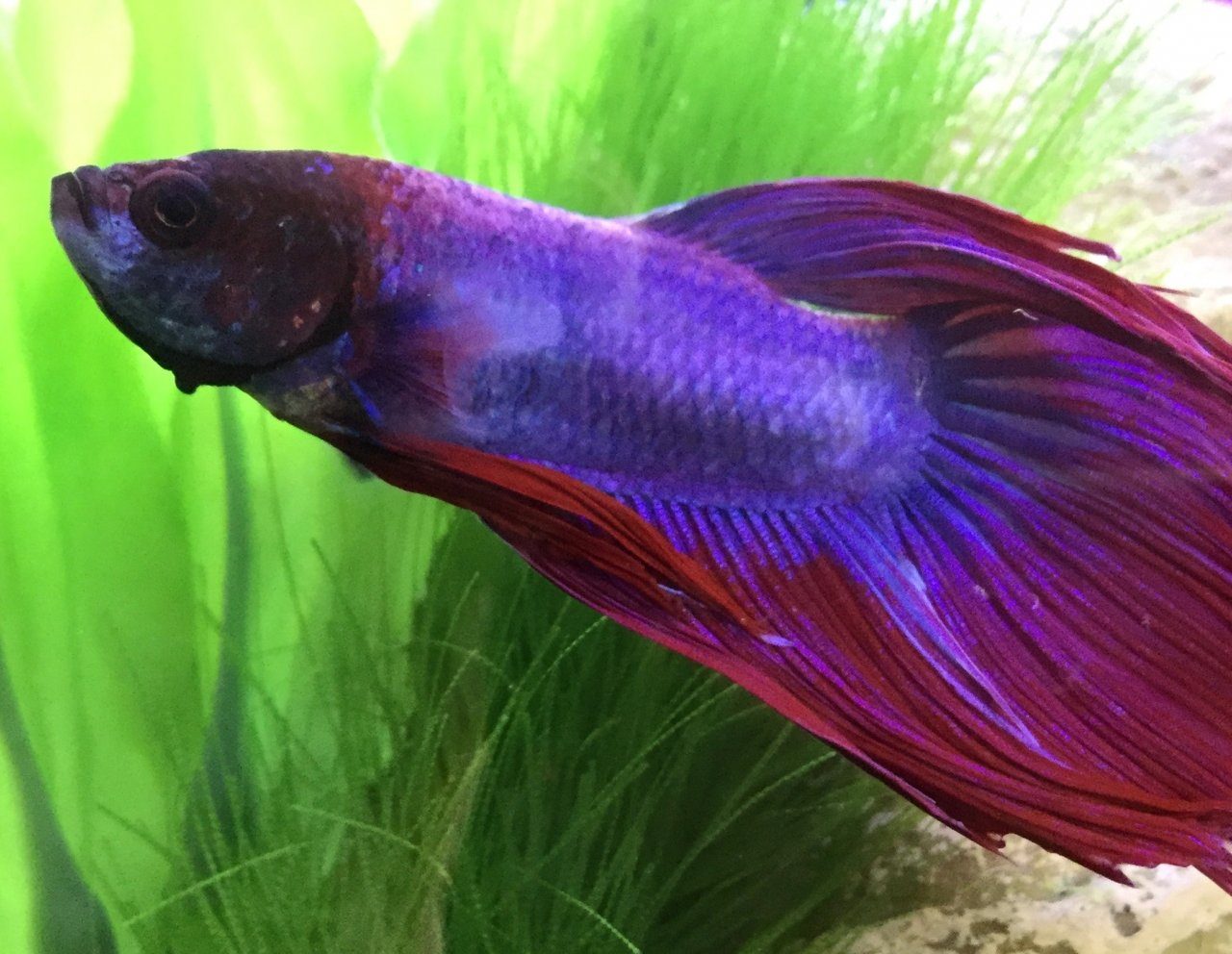 Please help i don 39 t know what else to do about my sick for Sick betta fish