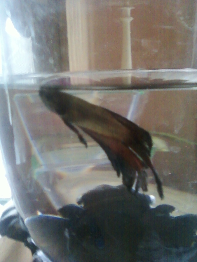 Do I Use Drinking Water For My Betta
