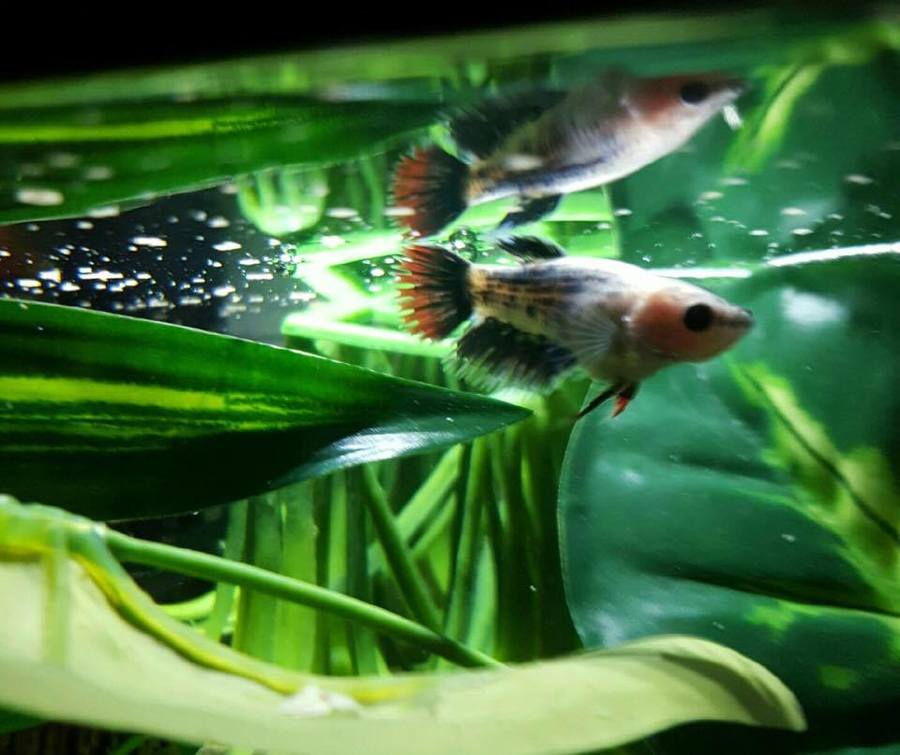 My baby female betta is bloated please help my for Bloated betta fish
