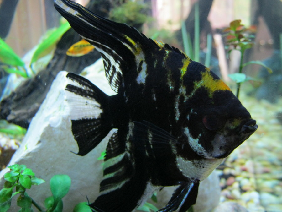 My Medium Sized Angel Fish Has Spent The Day Hiding In An