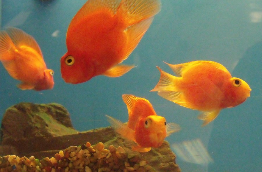 Blood parrot cichlids what i have learned my aquarium club for Blood parrot fish