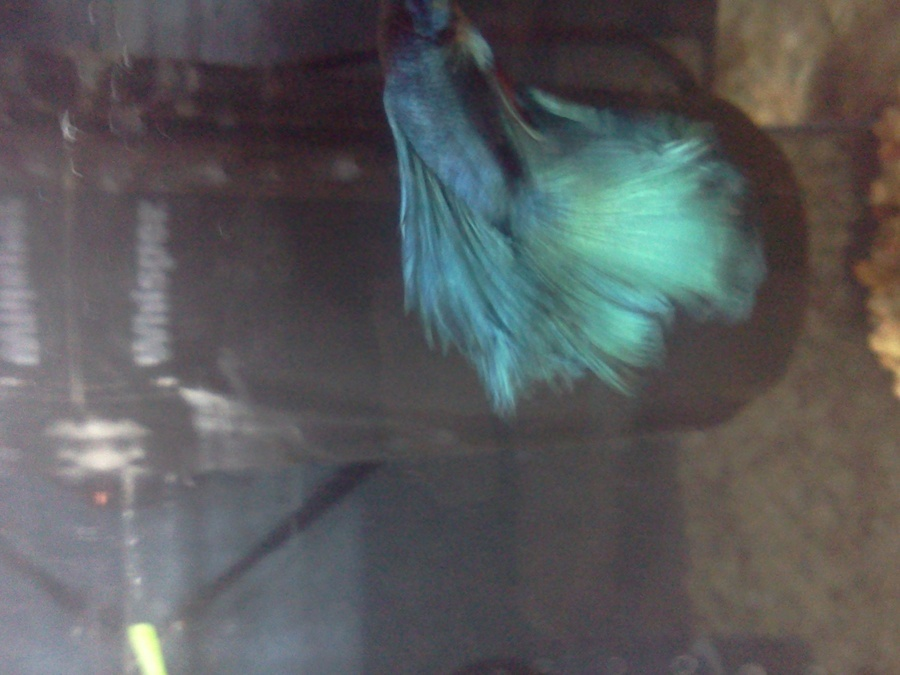 Does this look like fin rot to you my aquarium club for Fish tail rot