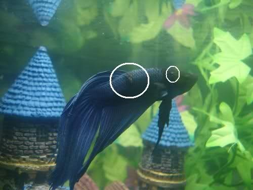 How to combat a columnaris infection my aquarium club for Betta fish ick